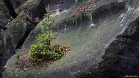 ...und gedeiht auf nacktem Fels : Am BimmlBahnof Oybin